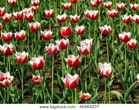 Tulips Bloom In The Flower Bed