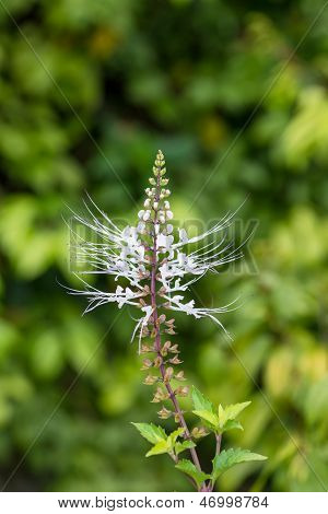 Cat's whiskers flowers or Orthosiphon stamineus in the herb garden. It is also known as Java Tea plant. poster