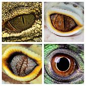 a collage of the eyes of four different reptiles - a green iguana a crocodile and a leopard geckos poster