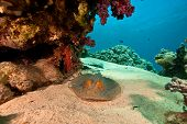 coral ocean and bluespotted stingray (taeniura lymma) taken in the red sea. poster