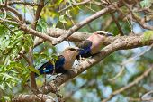 Two Blue-Bellied Rollers perched together in a tree poster