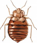 Higly detailed vector illustration of Common Bedbug (Cimex lectularius) - an AI 8 EPS file. poster