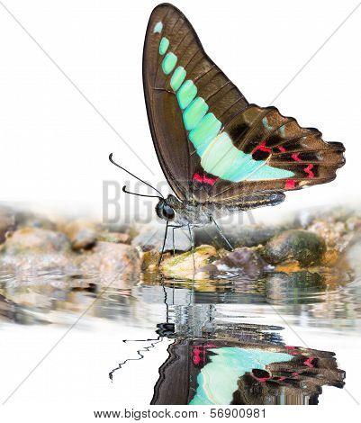 Bluebottle Butterfly On Water