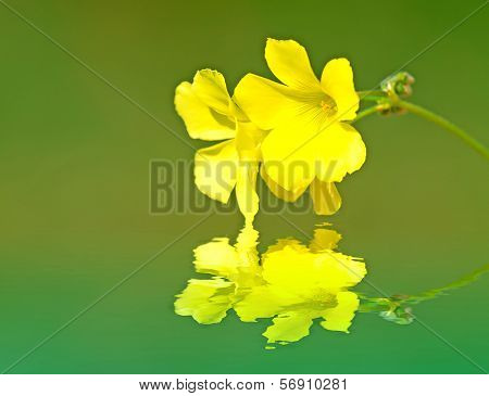 Oxalis Reflection