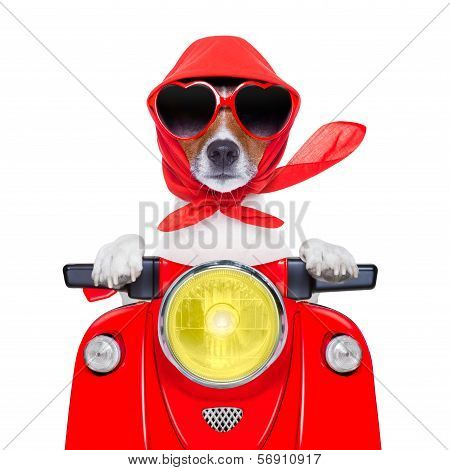 motorcycle dog summer dog driving a motorbike with sunglasses poster