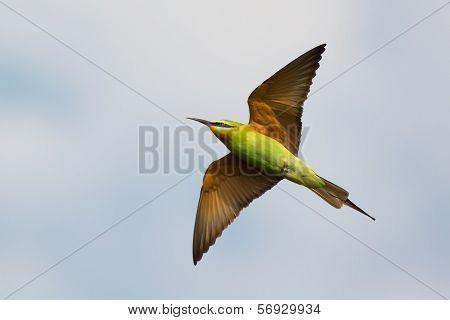 Blue-cheeked Bee-eater In Flight