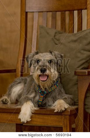 Miniature Schnauzer Dog Laying On  Brown Rocking Chair