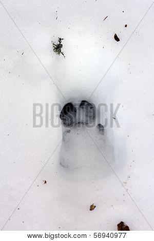 Wild Boar Track In Snow