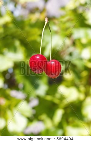 Two red sweet cherries with pedicle against green blurred background poster