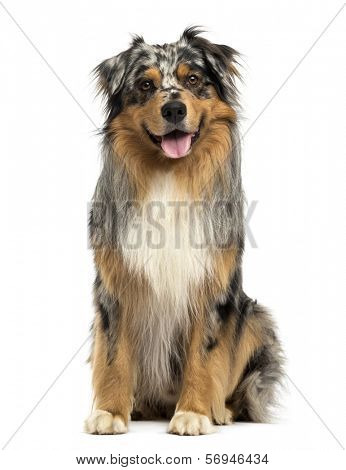 Front view of an Australian shepherd blue merle, sitting, panting, 4 years old, isolated on white