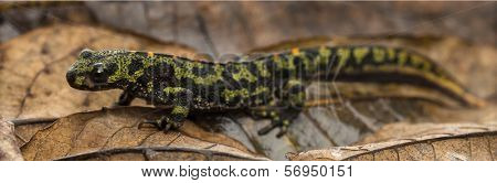 Marbled newt on an autumn leaf, Triturus marmoratus