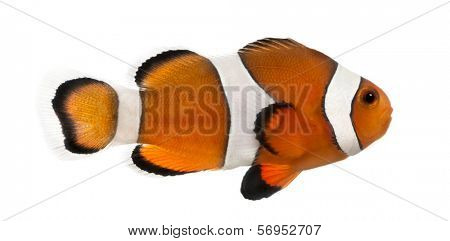 Side view of an Ocellaris clownfish, Amphiprion ocellaris, isolated on white