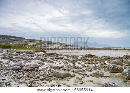 Sheep Exploring The Rocks During A Lowtide In Northern Norway