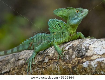 reptile,lizard,tropical lizard,green lizard,close up,lizard on a tree close up poster