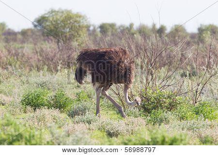 Female Ostrich Walking In Etosha National Park