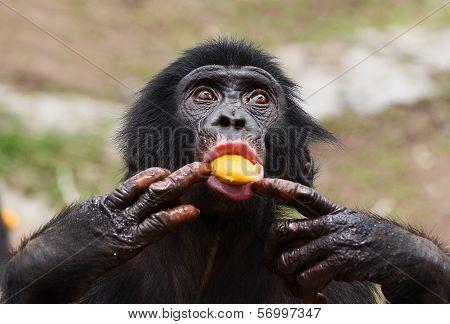 Cub Of A Chimpanzee Bonobo