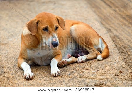 poster of Stray dog with sad look is laying on the road