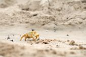 Horizontal image of a sand crab on the move poster