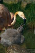 Portrait of a pink flamingo feeds her young poster