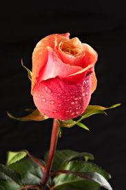 Rose Solitarie and Water drops