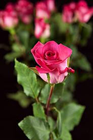 Marmalade Rose Solitarie