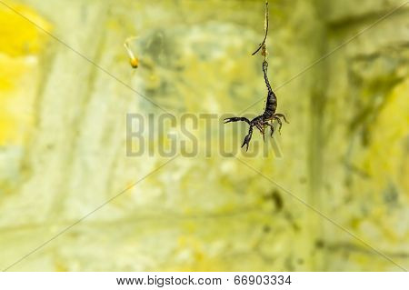 Trapped: Scorpion In A Web.
