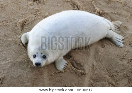 CUTE GREY SEAL PUP