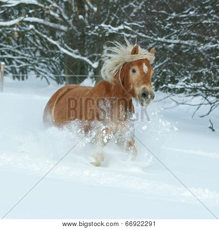Beautiful Haflinger With Long Mane Running In The Snow