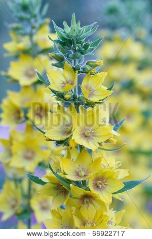 Yellow Loosestrife Flowers Closeup In The Garden
