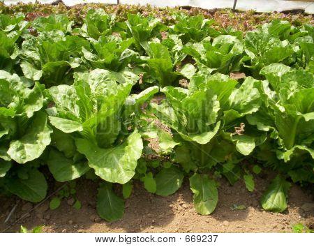 Greenhouse Vegetable Garden Lettuce