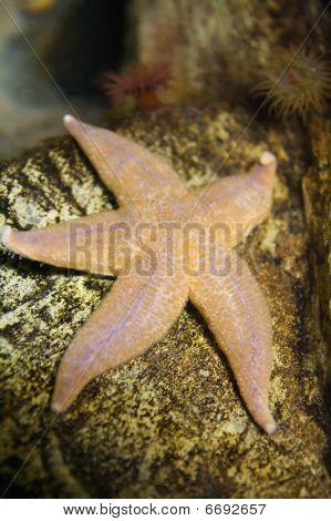 Common Sea Star