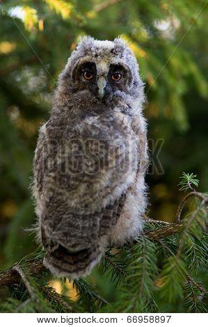 Portrait Of Long-eared Owl Chick