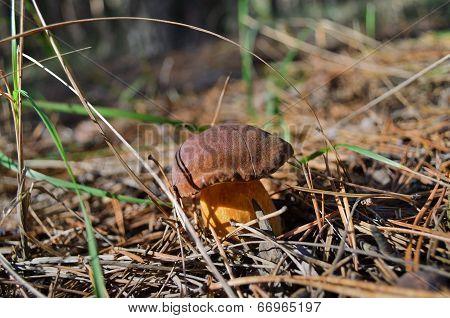 Boletus badius (Xerocomus badius)