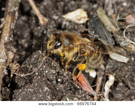 Closeup Of A Honey Bee