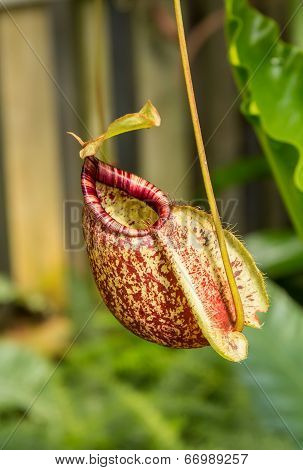 .nepenthes Ampullaria, A Carnivorous Plant