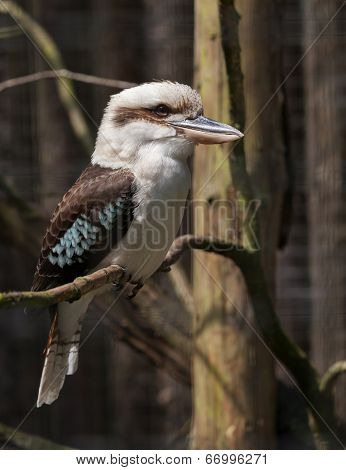 Kookaburra Perched On A Twig