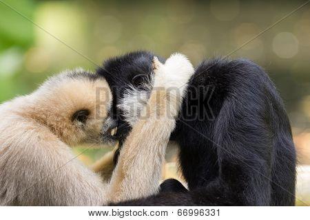 Northern white cheeked gibbon (Nomascus leucogenys) cuddling poster