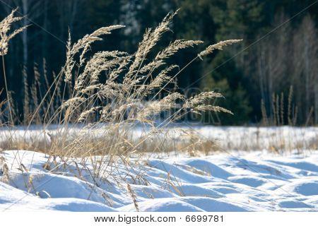 Winter Feather Grass