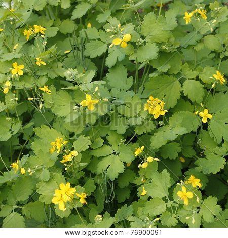 Flowering Celandine Plants