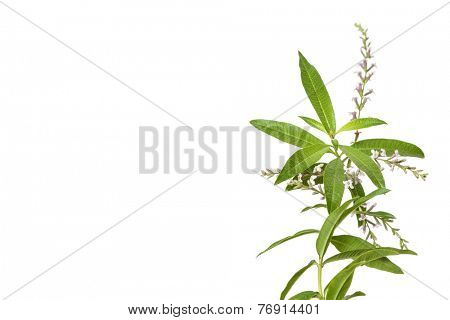 tea plant lemon bee brush isolated on white