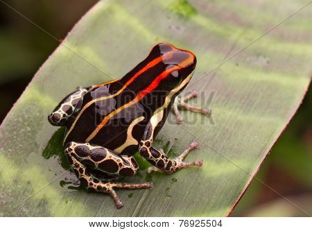 amazon poison frog from rain forest in Peru. Ranitomeya uakarii Tropical amphibian with bright red lines.