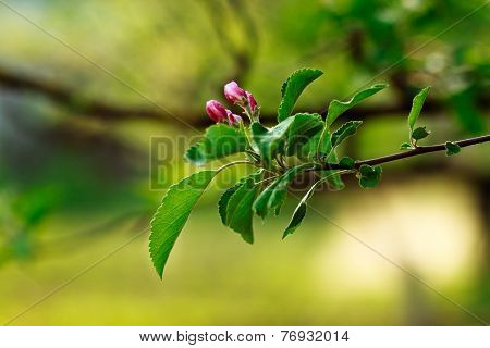 Blossoming Of Apple Tree