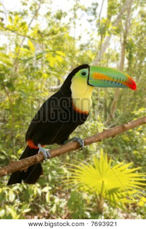 Toucan Kee Billed Tamphastos Sulfuratus Jungle