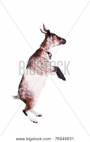 Dwarf goat on the white