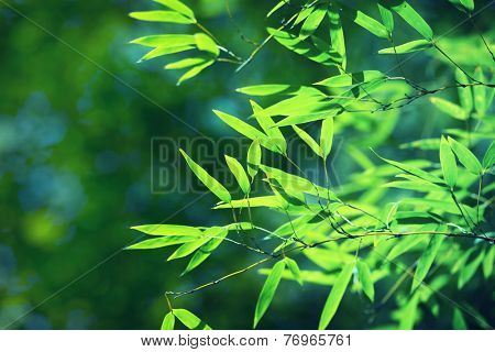 Young bamboo leaves translucent with sunlight. shallow depth of field.