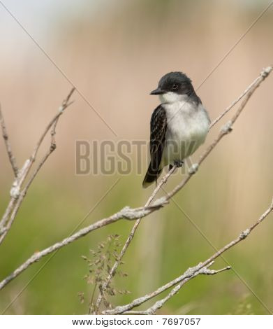Eastern kingbird Tyrannus tyrannus perched on a tree branch poster