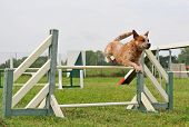 australian cattle dog in a competition of agility poster
