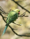 Ring-necked parakeet (Psittacula krameri) perched on a small branch. poster
