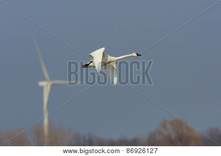 Tundra Swan In Flight With A Wind Turbine In The Background