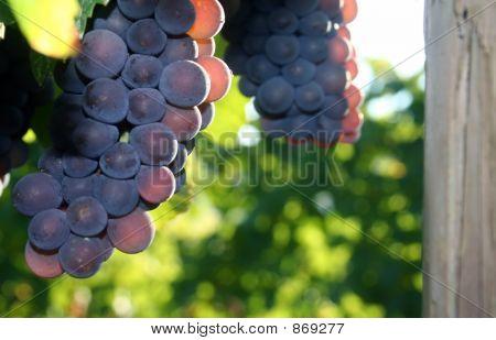 Light Shining Through Grape Cluster